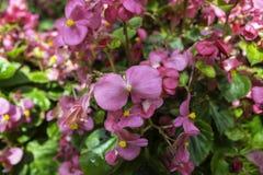 Purper, roze, rood, kosmosbloemen in de tuin Royalty-vrije Stock Foto's