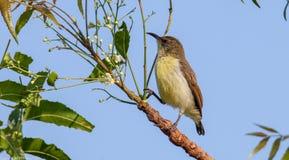 Purper Sunbird (wijfje) Stock Foto's