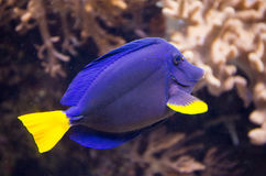 Purper Tang Tropical Fish Stock Foto's
