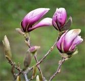 Purper van magnoliabloemen en knoppen close-up royalty-vrije stock afbeeldingen