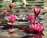 Purper Water Lillies stock afbeelding