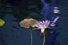 Purper Water Lily Flower With Reflection Floating op Waterige Achtergrond royalty-vrije stock afbeeldingen