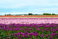 Multicolored tulpengebied Stock Afbeelding