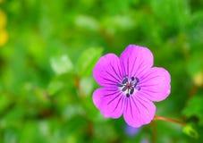 Purperachtige Roze Geranium Pratense & x28; Weide Geranium& x29; Bloem, Vallei van Bloemen, Uttarakhand, India stock afbeelding