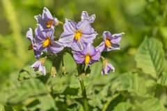 Purpere aardappelbloemen in bloei Stock Afbeelding