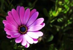 Purpere Afrikaanse Daisy Royalty-vrije Stock Foto's