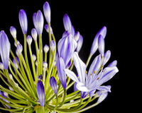 Purpere agapanthus Royalty-vrije Stock Afbeelding