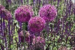 Purpere alliumbloemen die op een gebied zitten stock foto