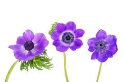 Purpere anemonen Stock Afbeelding