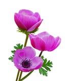 Purpere anemoonbloemen stock afbeeldingen