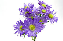 Purpere Aster Stock Foto