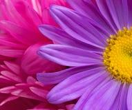 Purpere asterbloem op een achtergrond van purpere bloemblaadjesclose-up Stock Afbeeldingen