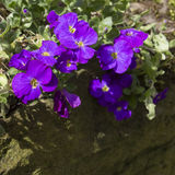 Purpere Aubretia-bloemen in de lente Stock Foto