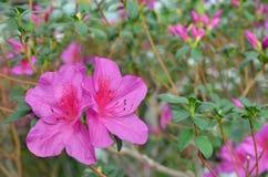 Purpere azaleabloemen Royalty-vrije Stock Foto's
