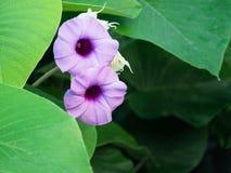 Purpere Baby Houten Rose Ivy Flowers Blooming stock afbeelding