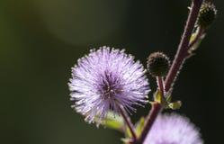 Purpere Bal Dianthus stock afbeeldingen