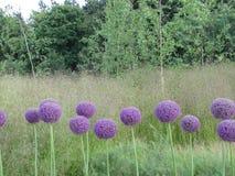 Purpere ballen & purpere bloemen Royalty-vrije Stock Afbeelding