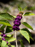 Purpere Beautyberry Royalty-vrije Stock Afbeelding