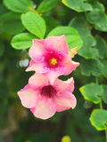 Purpere Bignonia of Saritaea Magnifica Duyand Stock Afbeelding