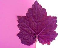 Purpere bladeren Heuchera op pastelkleur roze achtergrond Minimale aard Stock Foto