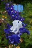 Purpere/blauwe gebaarde iris Stock Fotografie