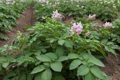 Purpere bloeiende aardappelplanten Stock Afbeeldingen