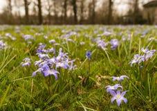 Purpere bloeiende Scilla-installaties die tussen gras groeien. Royalty-vrije Stock Afbeelding