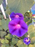 Purpere bloem Stock Foto's