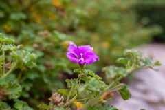 Purpere bloem in de Koninklijke Botanische Tuinen Cranbourne Victoria Australia stock afbeeldingen