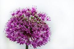 Purpere bloem decoratieve ui op een lichte achtergrond royalty-vrije stock foto's