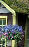 Purpere bloem hangende mand op Mos behandelde cabine stock foto's