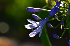 Purpere bloem met bokehachtergrond Royalty-vrije Stock Afbeeldingen