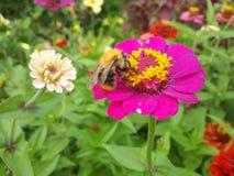 Purpere bloem met een bij Stock Foto's