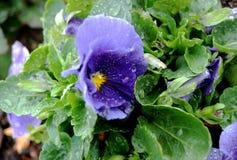 Purpere bloem na het regenen Stock Foto