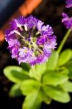 Purpere bloem op zon Stock Afbeelding