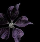 Purpere bloem op zwarte Royalty-vrije Stock Afbeeldingen