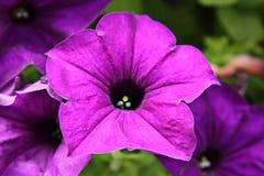 Purpere bloem in tuin royalty-vrije stock afbeelding