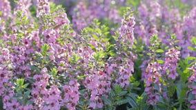 Purpere bloem in tuin bij zonnige de zomer of de lentedag Angeloniabloem stock video