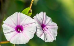 purpere bloem van bataat op een donkere achtergrond stock fotografie
