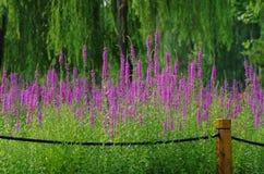 Purpere bloem van lythrumsalicaria stock afbeeldingen
