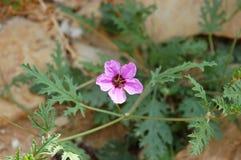 Purpere bloem in woestijn. stock fotografie