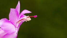Purpere bloembanner in de lente Royalty-vrije Stock Afbeeldingen