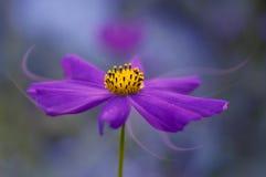 Purpere bloembloemblaadjes in de vorm van rook De purpere bloem is kosmos met het kleuren Mooi artistiek en abstract beeld Royalty-vrije Stock Foto's