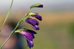 Purpere bloemclose-up royalty-vrije stock fotografie