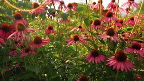 Purpere bloemen stock footage