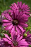 Purpere bloemen Stock Fotografie