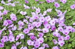 Purpere bloemen Royalty-vrije Stock Foto