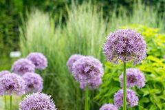 Purpere bloemen Royalty-vrije Stock Afbeelding