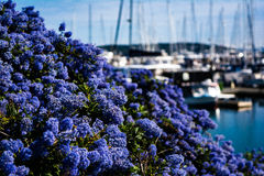 Purpere bloemen bij jachthaven Royalty-vrije Stock Afbeeldingen