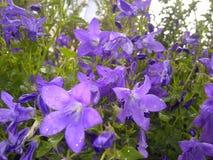 Purpere bloemen in de Regen Stock Fotografie